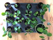 Ufopflanze Bauchnabelpflanze Pilea Ableger