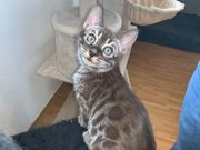 Exklusive bengal kitten in seltenen