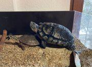 Gelbwangenschmuckschildkröten inkl voll ausgestattetem Aquarium