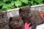 BKH Kitten Kater seltene Fellfarbe