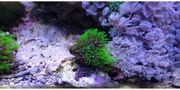Mini Anemonen Affenhaar Pilzleder Korallen
