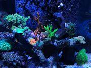 Korallenableger aus eigener Zucht Meerwasser