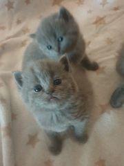 2 wünderschöne bkh blue kitten