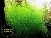 Amerikanischer Wasserstern RARITÄT Wasserpflanzen Versand