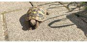 Griechische Landschildkröten Nachzucht 2019 zu