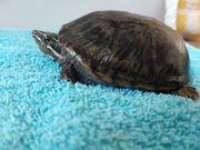 Moschusschildkröte mit Aquarium und Zubehör
