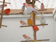 Kanarienvögel beide Geschlechter