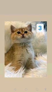 Bkh Kitten golden shaded
