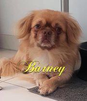 Barney- Pekinese auf Pflegestelle in