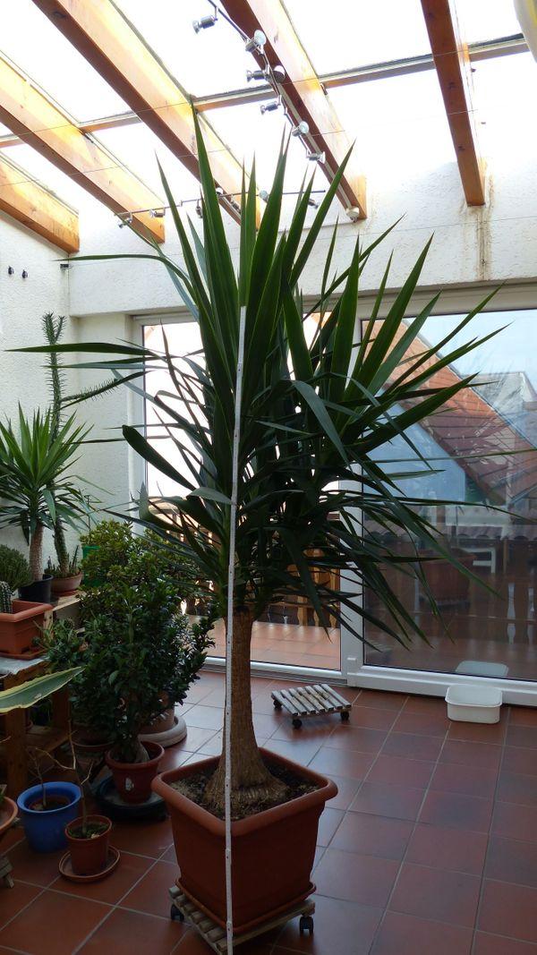 Große Yucca-Pflanze ca 250 cm