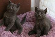 Bildhübsche Russisch Blau Kitten