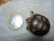 Schildkröten Breitrandschildkröten Jungtiere