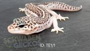 Leopardgeckos Mack Super Snow Eclipse