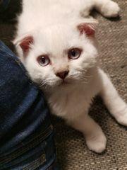 Scottish Fold Kitten BKH