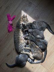 Bengal Mix Kitten zu verkaufen