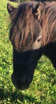 Pony Kleinstpferd 2-jährige Falabella Stute