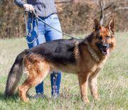 Wunderschöner Altdeutscher Schäferhund Rüde HD-FREI