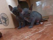 Canadian Sphynx Kitten reinrassig mit