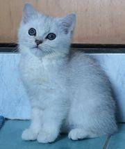 Reinrassige BKH Kitten Kätzchen