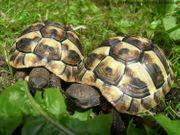 Griechische Landschildkröten Jungtiere von 2016