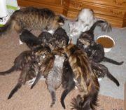 main coon kitten wurfankündigung