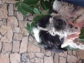 Hunde - Shih-tzu mix Malteser abzugeben