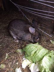 Kaninchen Hase weiblich