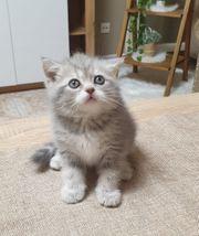 Britsch Scottisch kitten