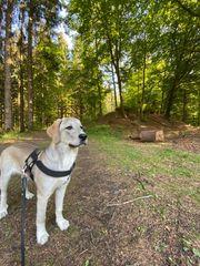 Labrador mischling Welpe