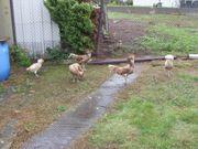 Hühner Paduaner