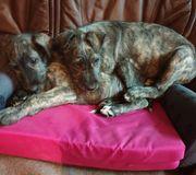 Irish Wolfhound Irischer Wolfshund Welpe