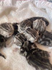 Wunderschöne Reinrassige BKH Kitten Wiskas