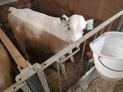 BIO-Kälber Holstein x Weiß blauer