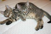 Katzenbabys Kater EKH abzugeben