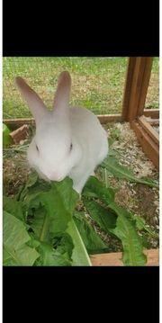 Kaninchen Hasen Hasenstall Freilaufgehege