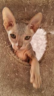 Reinrassige Don Sphinx Kitten
