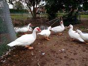 Warzenenten Flugenten Enten weiß