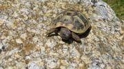 griechische Baby- Landschildkröten
