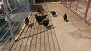Marans junge Hühner MSK vom
