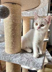 1 BKH Kitten ganz weiß