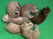 Exklusive Bengal Kitten Kater Snow