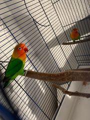 2 Pfirsichköpfchen mit käfig