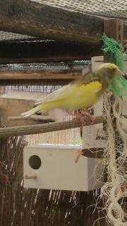 Gelb gescheckte Grünfinken
