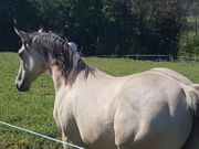 Traumhafter Quarter Horse Hengst Wallach