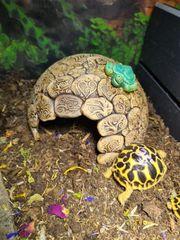 Sternschildkröte