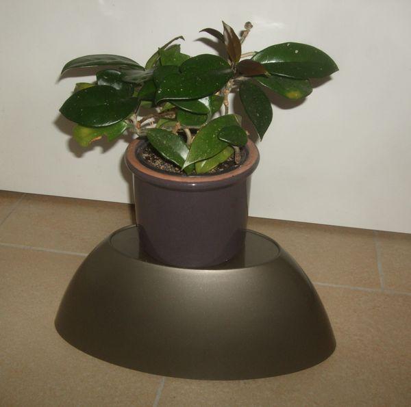 Wachsblume Hoya Carnosa Pflanze inkl
