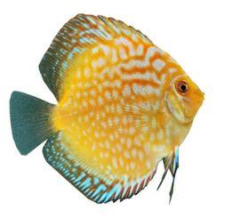 Wunderschöne Stendker Diskusfische: Kleinanzeigen aus Wendisch Evern - Rubrik Fische, Aquaristik