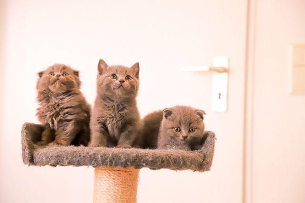 Bkh Blh Scotische Fold Kitten In Erkelenz Katzen Kaufen Und Verkaufen Uber Private Kleinanzeigen