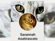Savannah Kitten F5 B mit