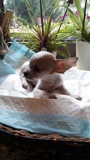 Süße verspielte kurzhaar Chihuahuas